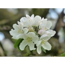 Apple Blossom Fragrance x 10ml