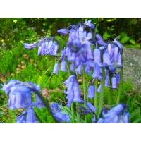 Bluebell Fragrance x 10ml
