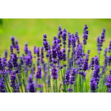 Lavender Fragrance x 10ml